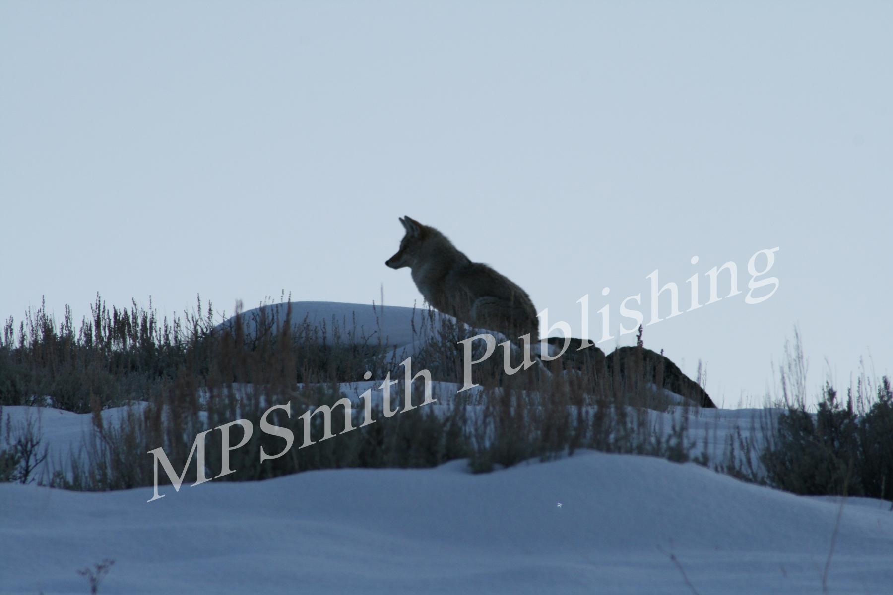 Coyote Sillouette