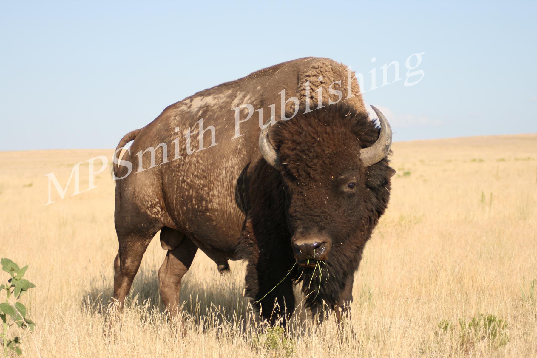 Utah Buffallo