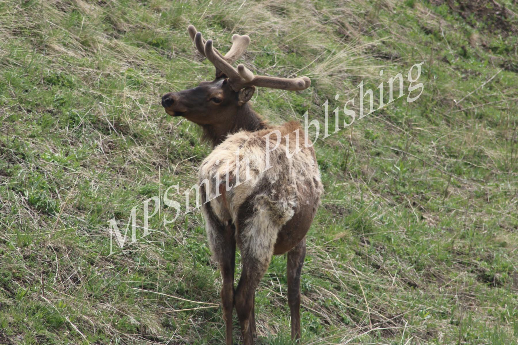 Bulk Elk in Spring