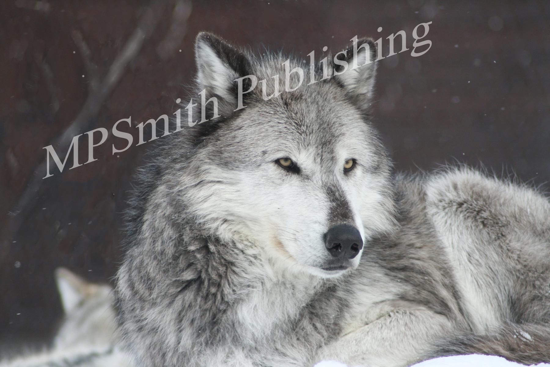 Rocky Mountain Wolf